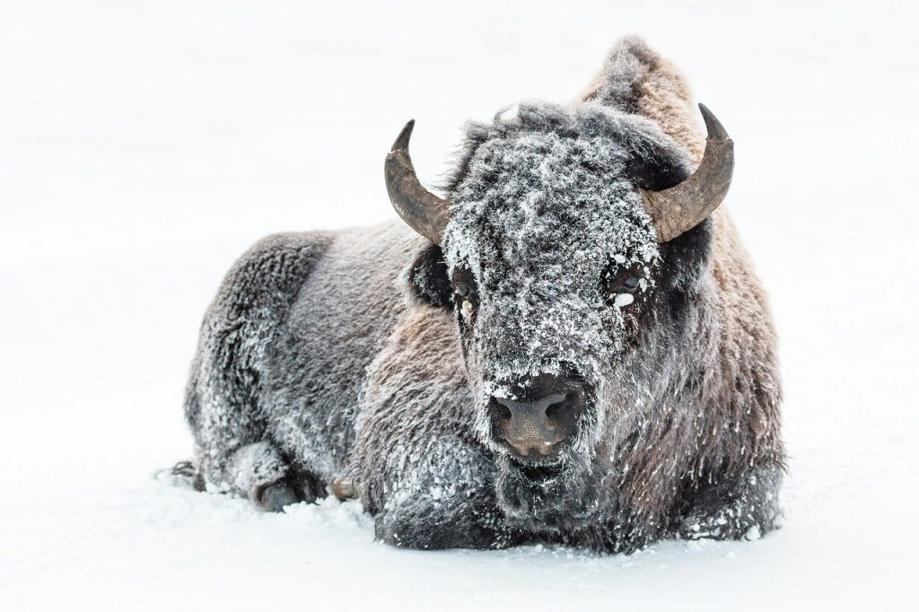 Bison are unaffected by freezing cold snow because of their insulating down layer underneath the route outer coat.